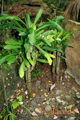 Euphorbia lophogona