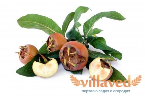 Плоды мушмулы германской