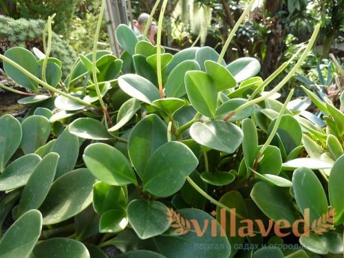 Peperomia magnoliaefolia