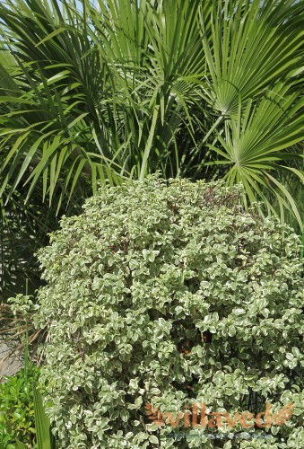 Смолосемянник тонколистный (Pittosporum tenuifolium)