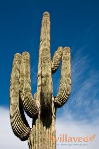 Размеры кактуса сагуаро очень впечатляют