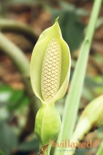 Бутон цветка напоминает кукурузный плод