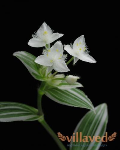 Цветок традесканция фото