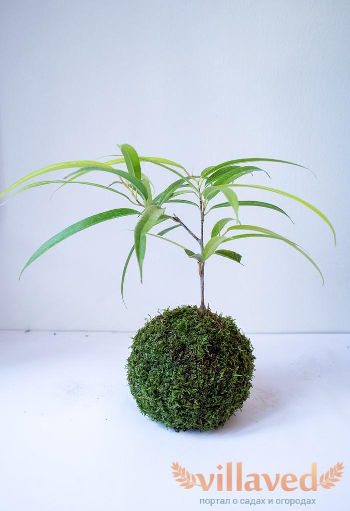 фикус с бело-зелеными листьями уход в домашних условиях