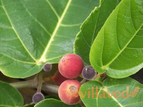 Плод фикуса