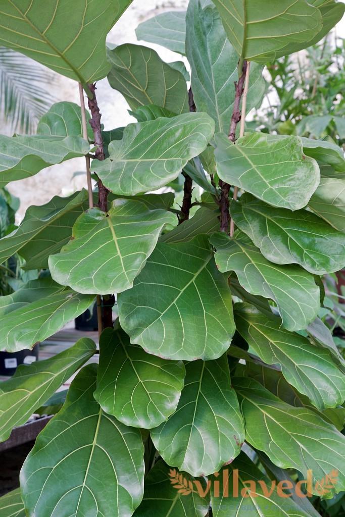 Фикус  Комнатные растения и цветы Floretsru