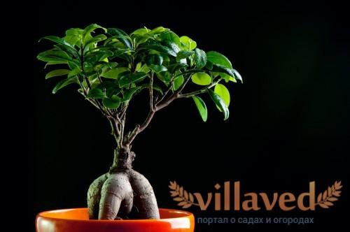 Фикус с декоративными корнями