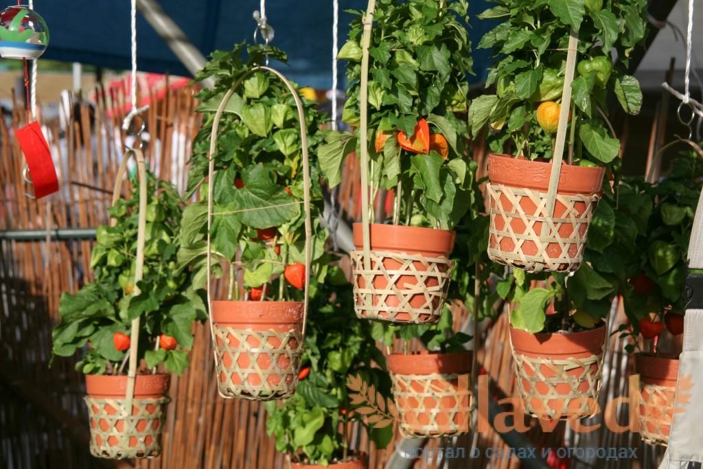 Опыт выращивания физалиса 7