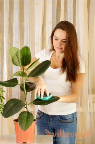 Как ухаживать за фикусом в домашних условиях