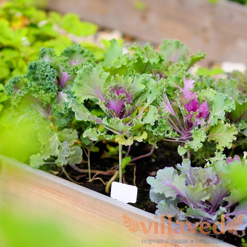 Как выращивать рассаду цветной капусты и брокколи в 63