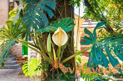 Цветущее тропическое растения монстера