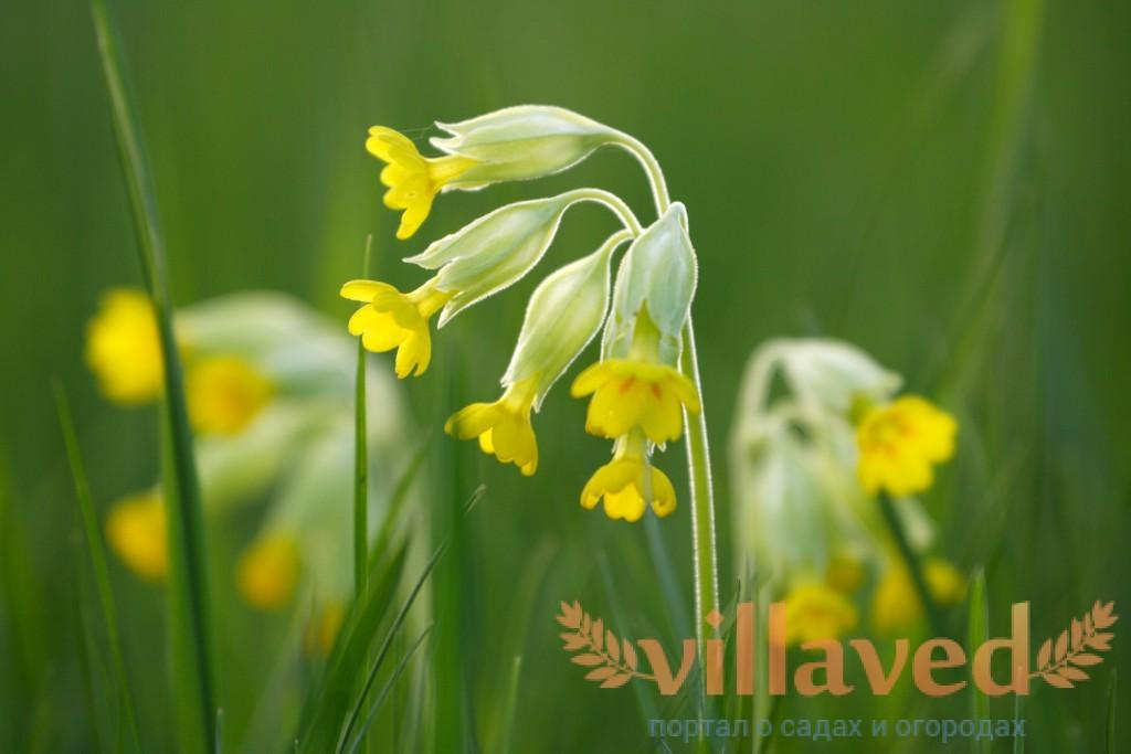 Весенний первоцвет полезные свойства и противопоказания