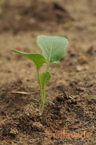 Пикировка рассады капусты