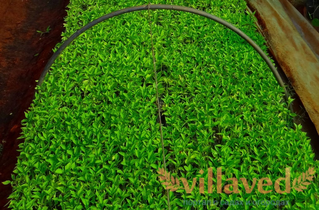 Как вырастить рассаду перца в домашних условиях 49