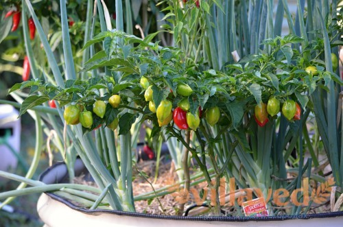 Хорошая рассада - залог успеха выращивания
