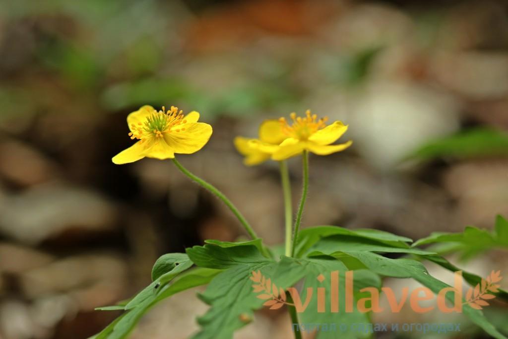 Анемона лютиковая или ветреница лютичная ботаническое описание