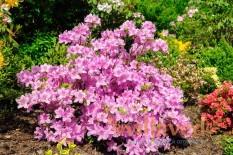Азалия садовая