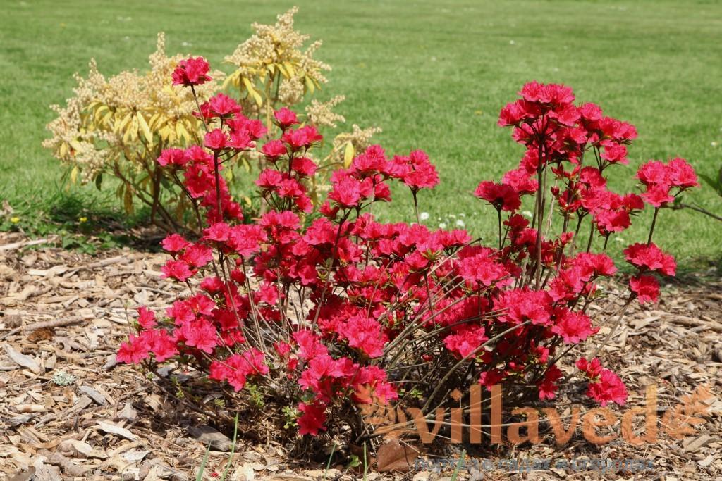 Азалия многолетняя садовая выращивание и уход фото 71