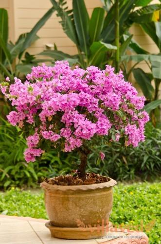 Розовая Бугенвиллия