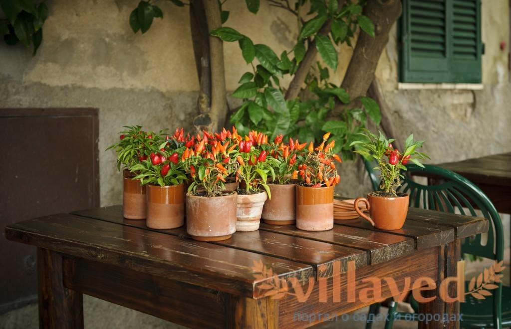 Перцы для домашнего выращивания