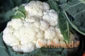Когда сажать рассаду цветной капусты