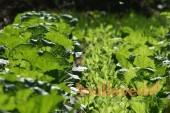 Как сажать пекинскую капусту на рассаду