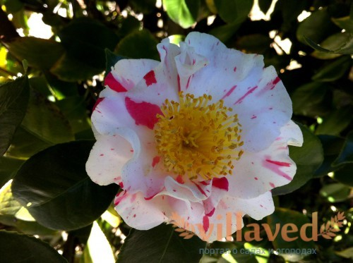 Бутон цветка Камелии