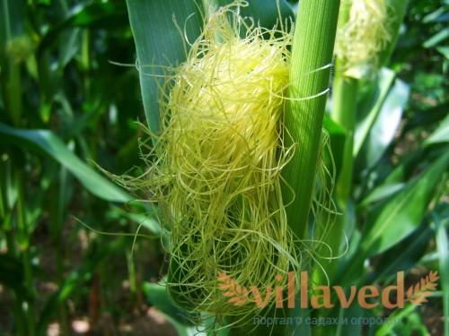 Кукуруза - хороший сосед для гороха