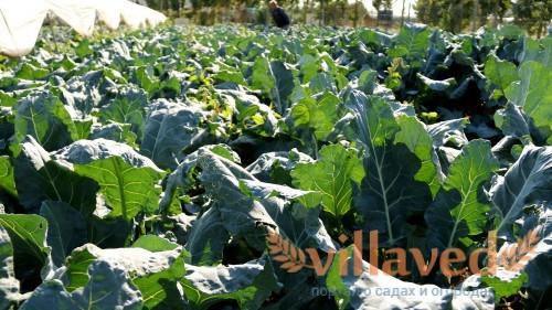 Посадка капусты брокколи в открытый грунт