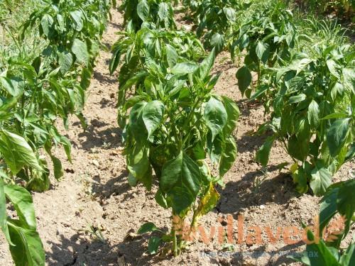 Проблемы с листьями рассады перца