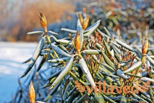Подготовка рододендрона на зиму