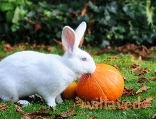 Порода кроликов белый великан