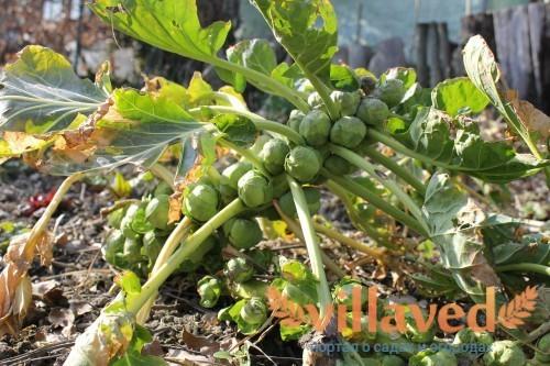 От грунта зависит будущий урожай капусты