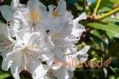 Рододендрон якушиманский