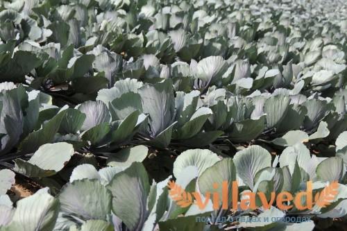 С чем можно сажать капусту