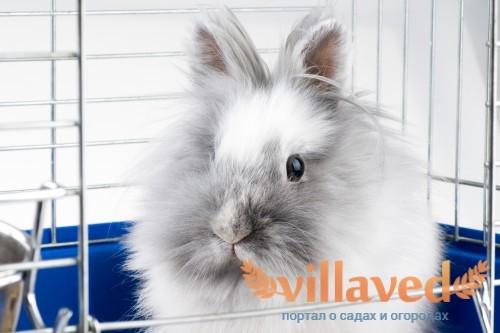 Белый Ангорский кролик