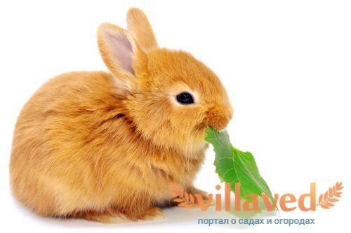 Чем кормить кроликов в домашних условиях