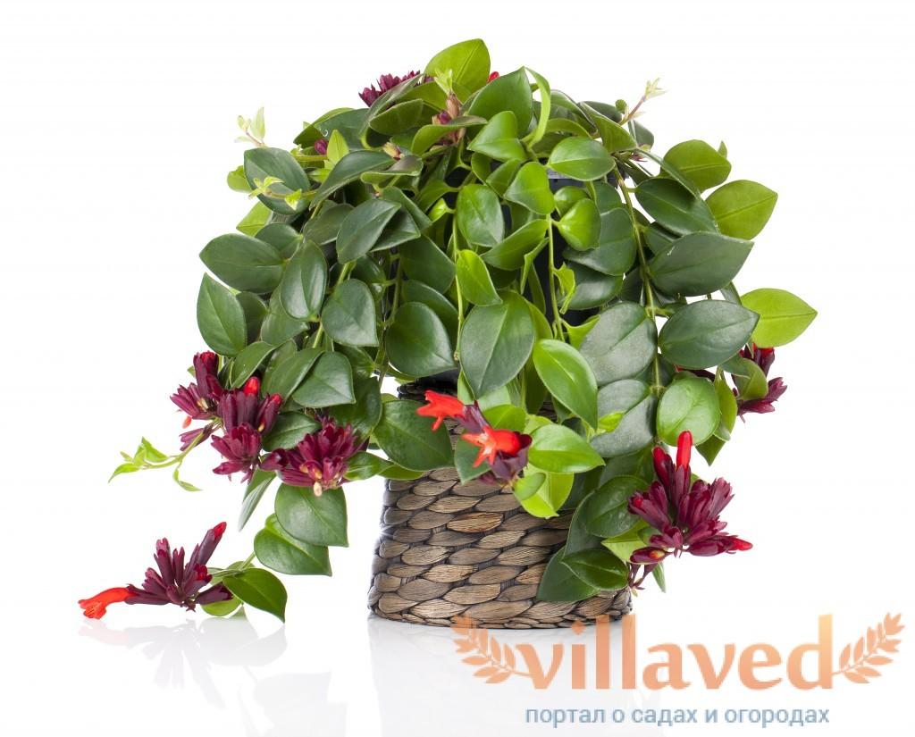 Комнатные цветы эсхинантус и уход за ними