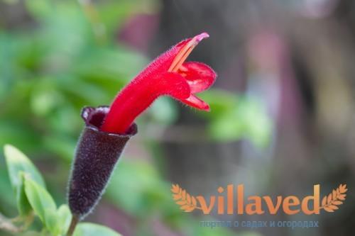 Красный бутон цветка