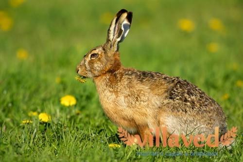 Клещи у кроликов