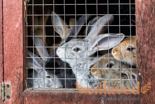 На 20-й день крольчат пересаживают в клетки