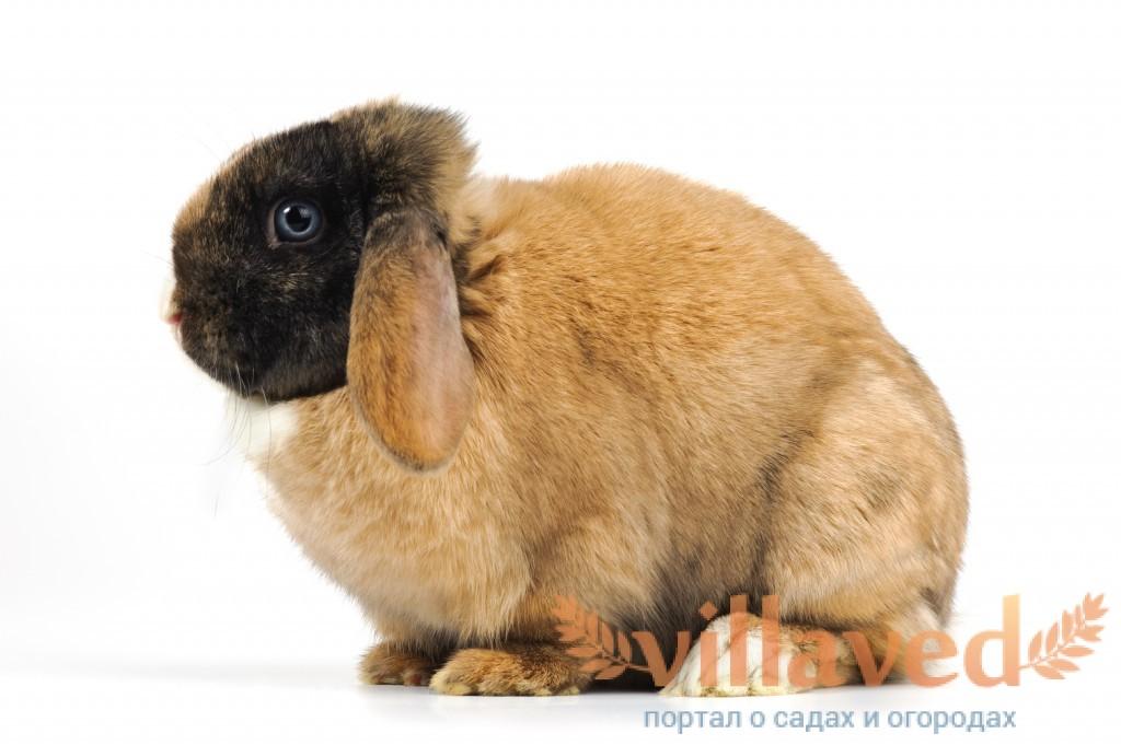 жир кролика применение