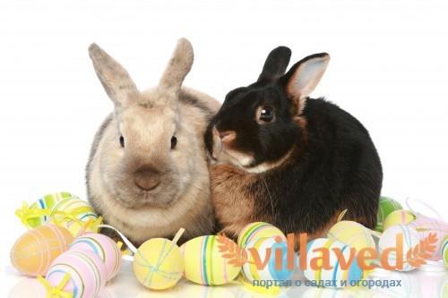 Кролики черно-огненной породы