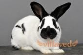 Кролики породы немецкий пестрый великан