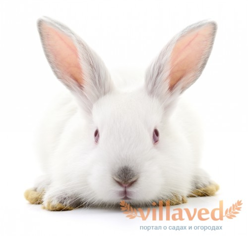 Кролики породы Паннон неприхотливы в уходе