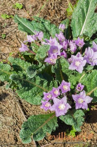 Лекарственный цветок Мандрагора