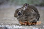 Миксоматоз у кролика