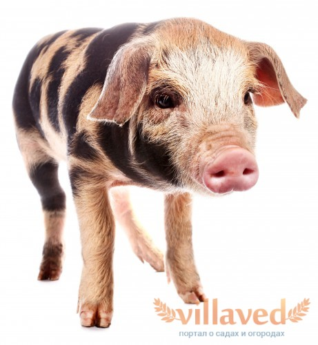 Свинья имеет черно-пестрый окрас