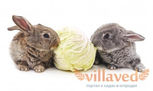 Кормление кроликов капустой
