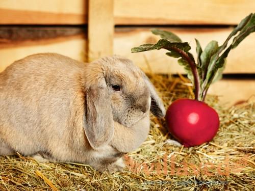 Можно ли давать кроликам красную свеклу